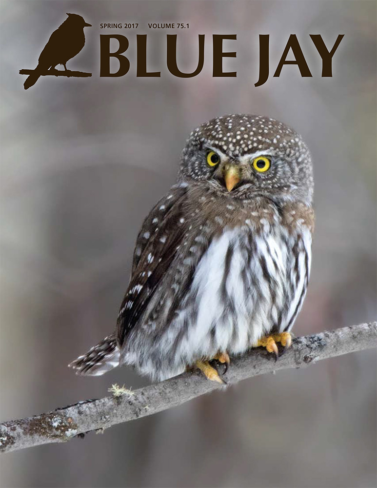 cover image featuring a northern pygmy-owl