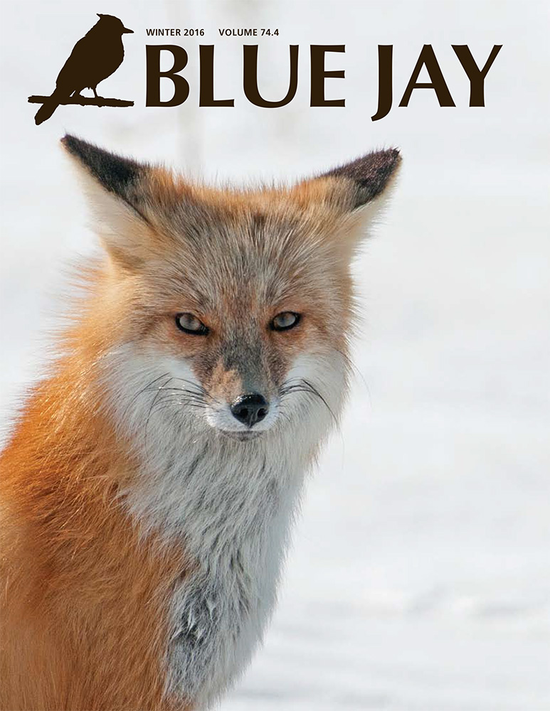 cover image featuring red fox in winter